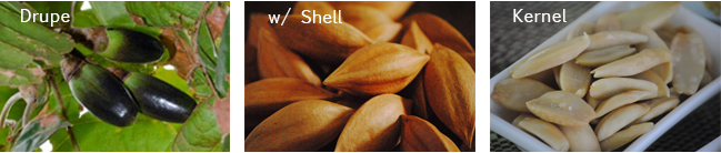 Pili Nut: Drupe, w/ Shell, Kernel
